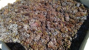 Beautiful Pinot Gris clusters.